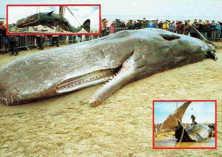 CACHALOT échoué sur la plage entre COXYDE et OOSTDUINKERKE
