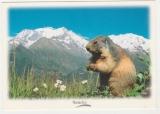 miniature  France adhésif  Y&T 3157 sur cpm Marmotte Image de Montagne
